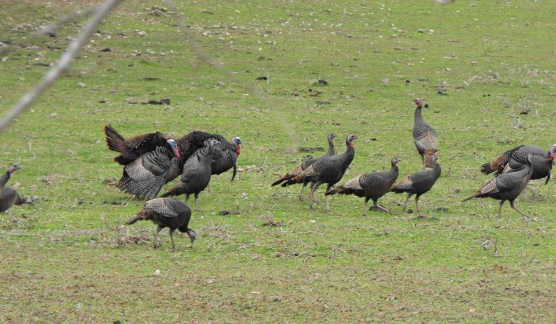 2016 Young Spring Turkeys in Giles County